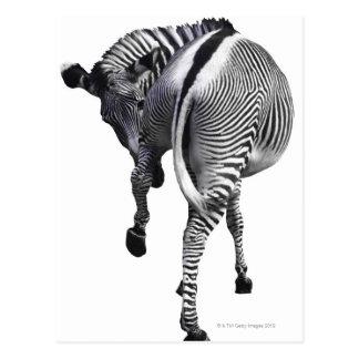 Zebra turning around postcard