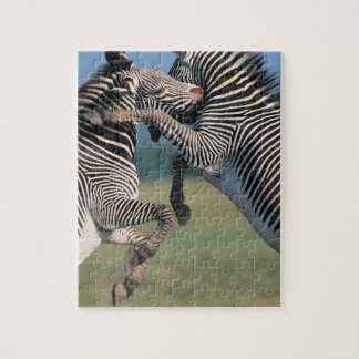 Zebras fighting (Equus burchelli) Jigsaw Puzzle