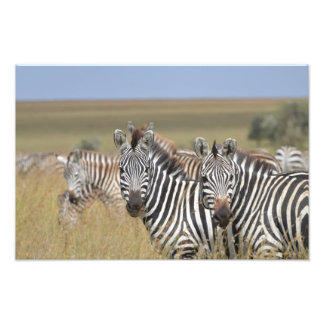 Zebras Grazing Photo Print