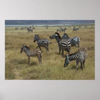 Zebras grazing poster