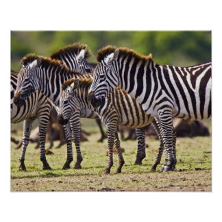 Zebras herding in the fields of the Maasai Mara Poster
