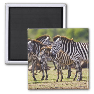 Zebras herding in the fields of the Maasai Mara Square Magnet