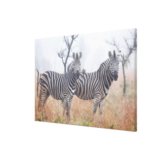 Zebras in early morning dust, Kruger National Canvas Print