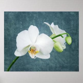 Zen White Orchid Poster