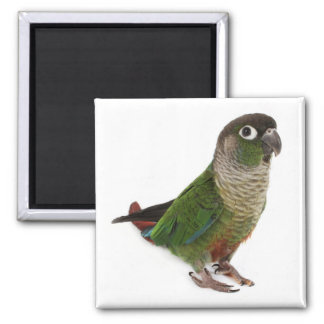 Zeph (green cheek conure) - Magnet 1