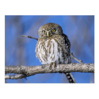 Zimbabwe. Close-up of pearl spotted owl on Postcard