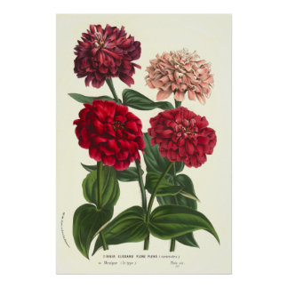 Zinnia elegans / Common Zinnias by Van Houtte Poster