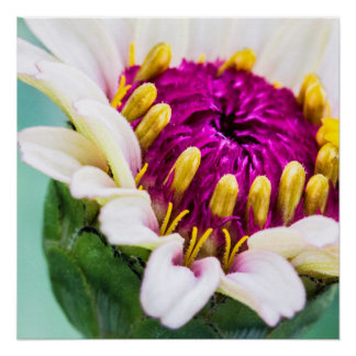 Zinnia in Bloom Poster Perfect Poster