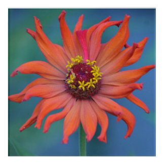 Zippy Zinnia Acrylic Wall Art