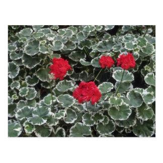 Zonal Geranium (Pelargonium Hortorum) flowers Postcard