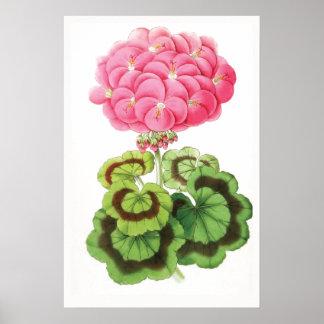 """Zonal Geranium"" Vintage Flower Illustration Poster"