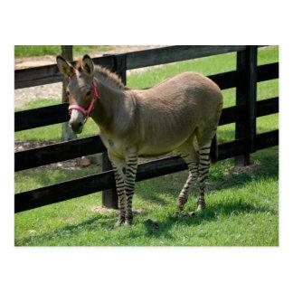 Zonkey named for Donkey and Zebra mix Postcard