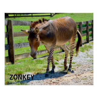 Zonkey part Zebra and Donkey Poster