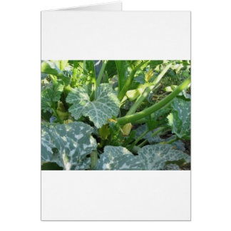 Zucchini plant in blossom in the garden in Tuscany Card