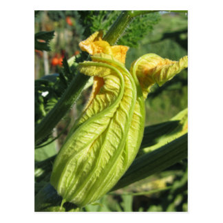 Zucchini plant in blossom in the vegetable garden postcard