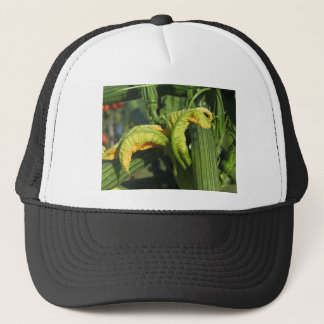 Zucchini plant in blossom in the vegetable garden trucker hat