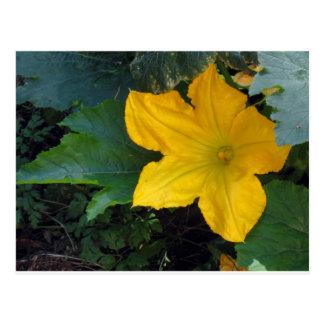 Zucchini Squash Blossom - photograph Postcard